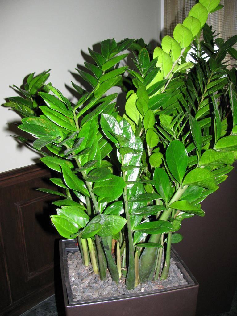 Долларовое дерево или замиокулькас — цветок безбрачия
