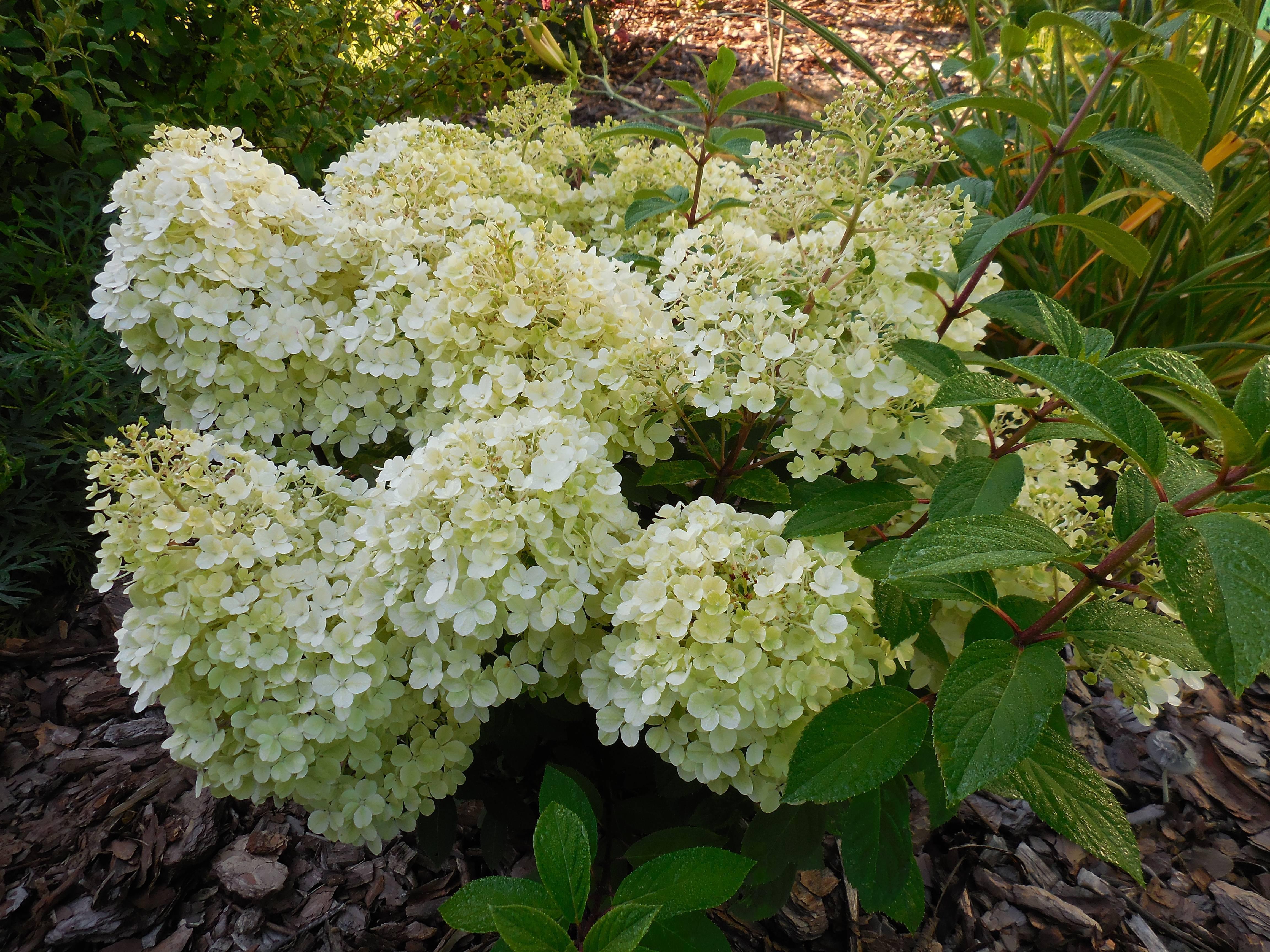Гортензия вимс ред — описание метельчатой садовой гортензии