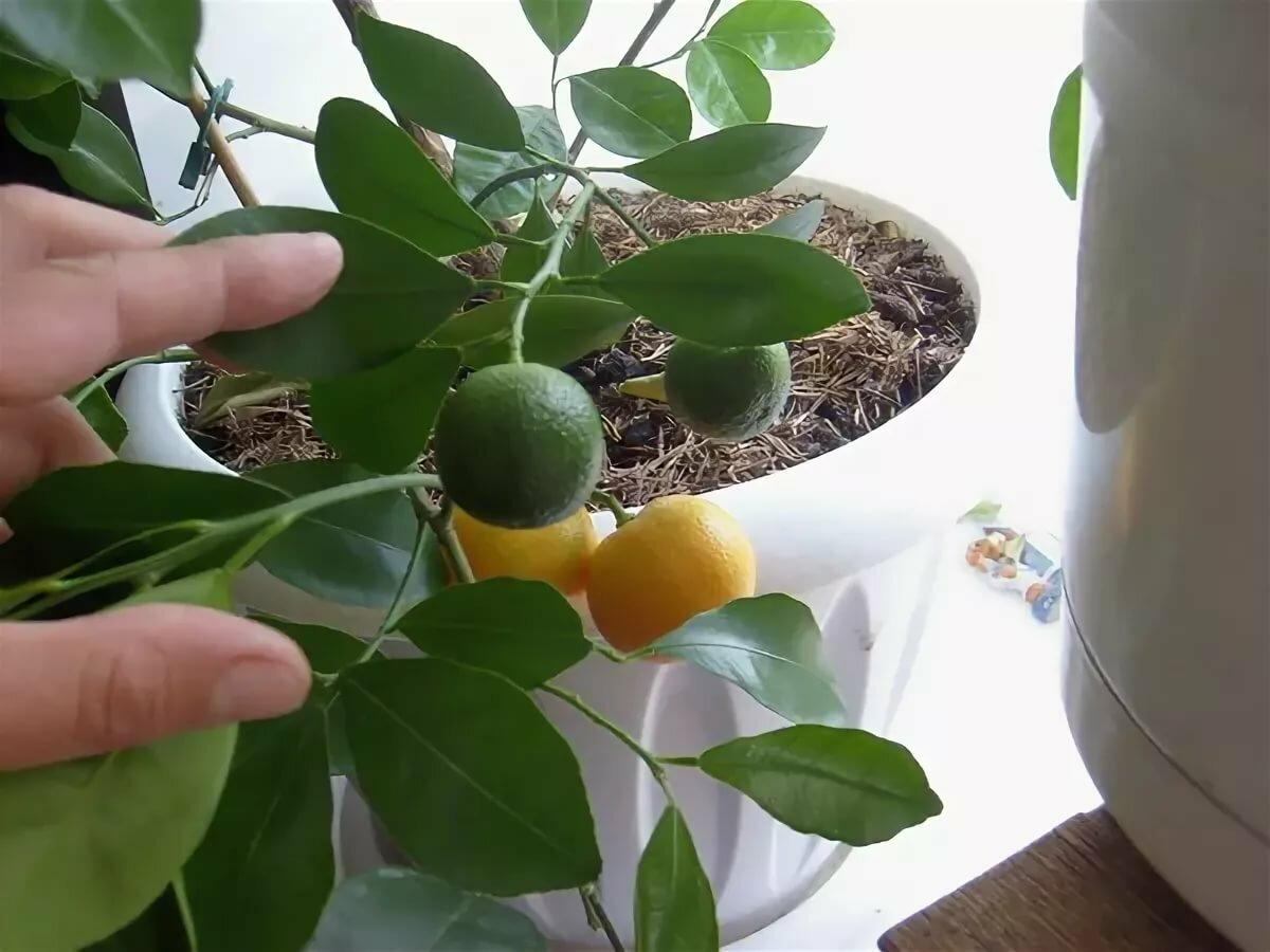 Как ухаживать за лимонным деревом в домашних условиях: выращивание и прививка