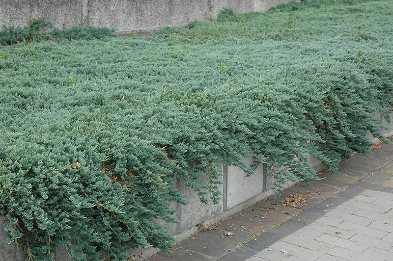 Разноцветные листья бересклета для сада