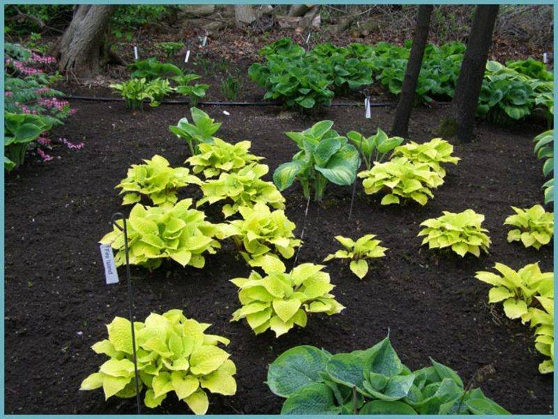 Чем подкормить хосты осенью и как ухаживать, чтобы растения выглядели пышно