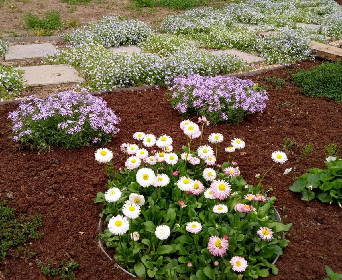 Цветы маргаритки, выращивание