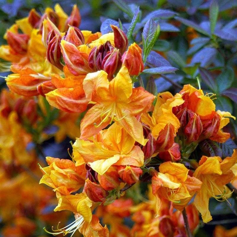 Подробное описание особенностей желтого листопадного рододендрона