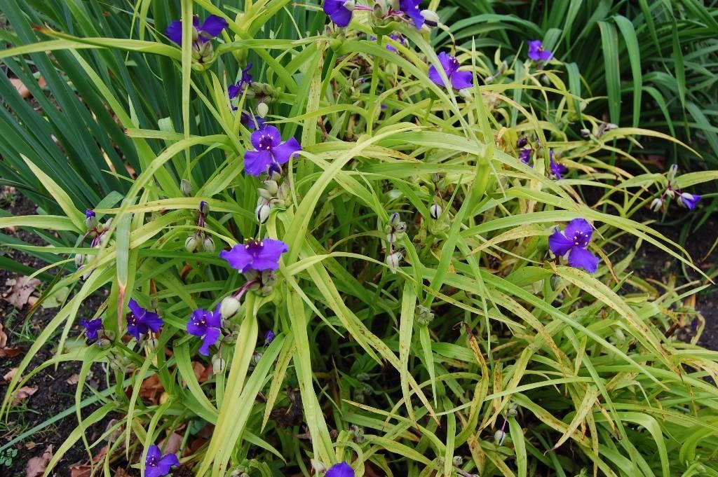 Выращивание традесканции садовой: посадка и уход за растением