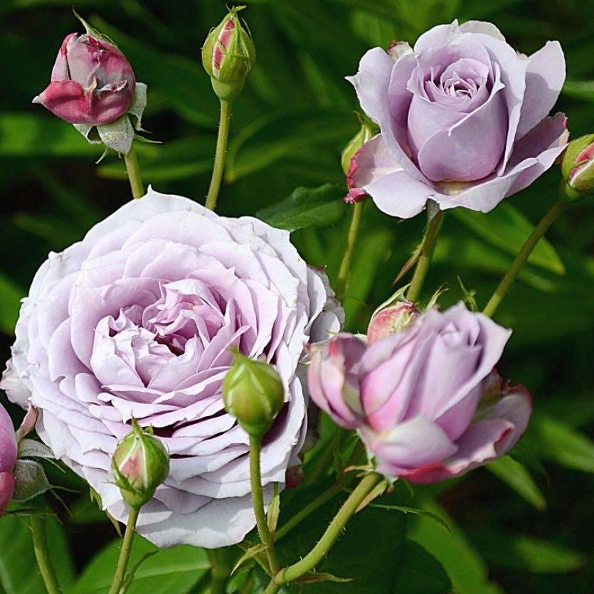 Отличие флорибунды от чайно гибридной розы