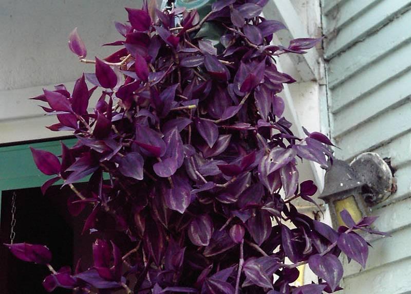 Цветок рео – уход в домашних условиях