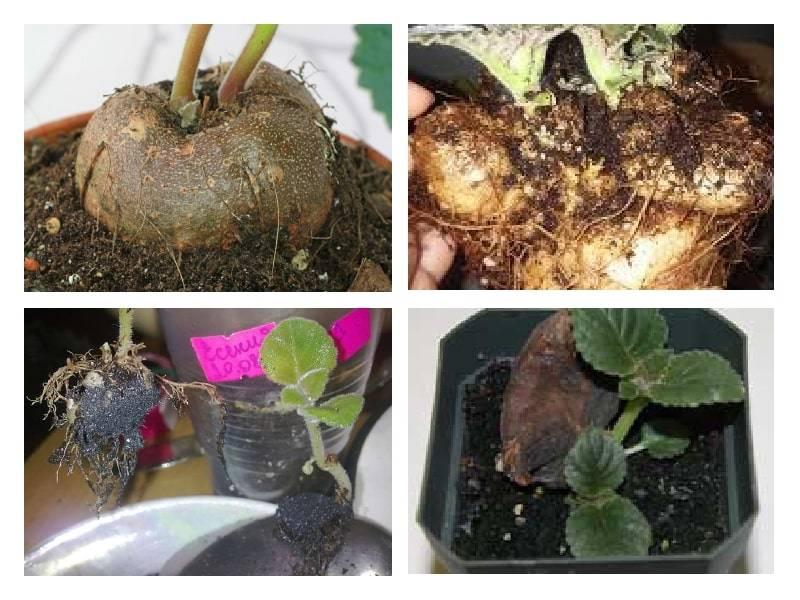 Глоксиния (55 фото): уход в домашних условиях. как выглядит цветок? комнатные сорта и посадка клубнем, болезни и подкормка