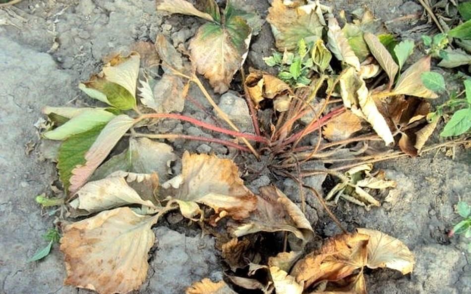 Сохнут листья у бегония: почему засыхают комнатные цветы и что делать? почему бегония вянет зимой и как спасти ствол?