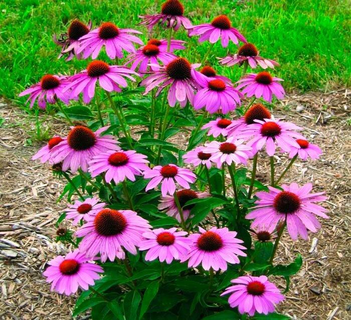 Сорт эхинацеи многолетней: пурпурная, посадка и уход в открытом грунте