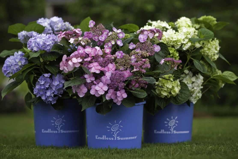 О сорте гортензии вечное лето: описание, как посадить и ухаживать
