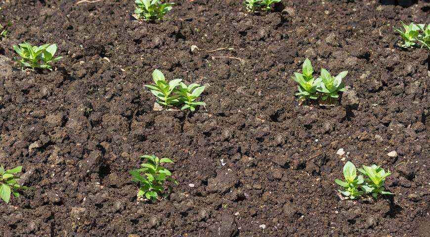 Циния — выращивание из семян в домашних условиях