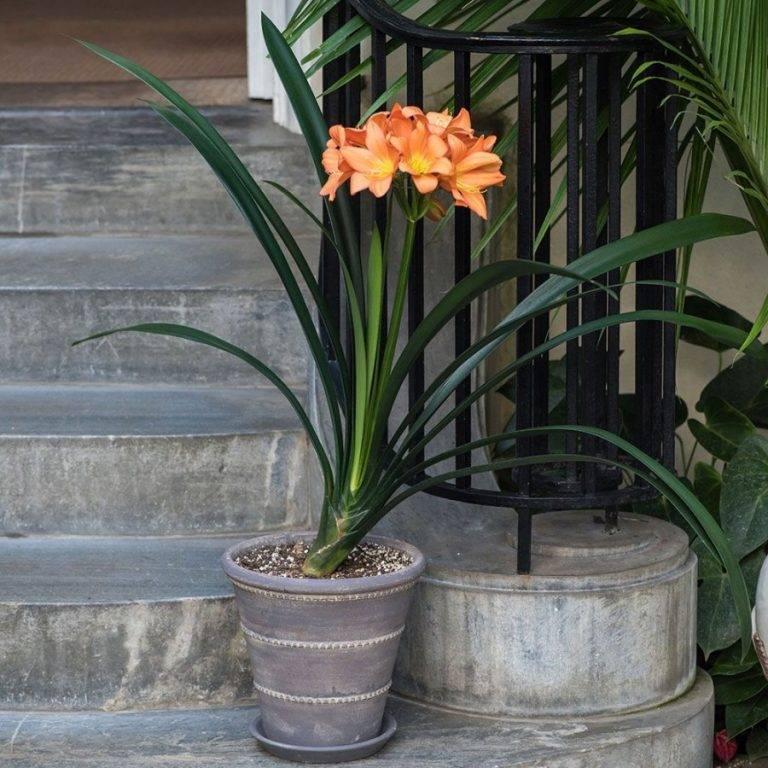 Южно-африканская гостья кливия: описание цветка с фото