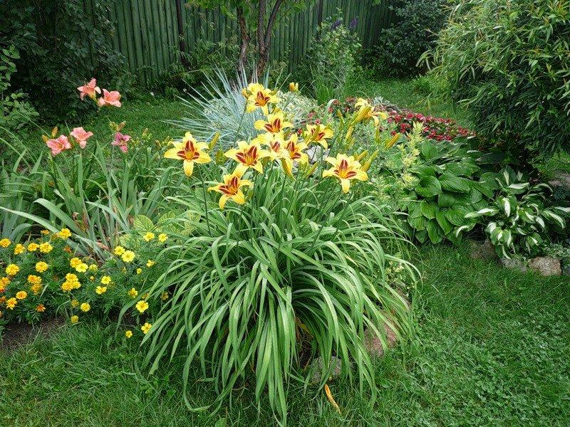 Когда цветет лилейник — как ухаживать