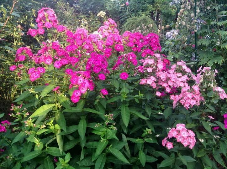 Лилии: подкормка для пышного цветения, при посадке луковиц, в июне в период бутонизации