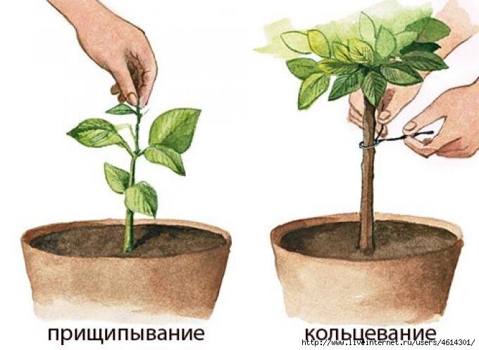 Как прищипывать герань правильно, чтобы она цвела гуще, но не росла вверх и когда это нужно делать для растения, выращенного из семян, пошаговая инструкция, фото