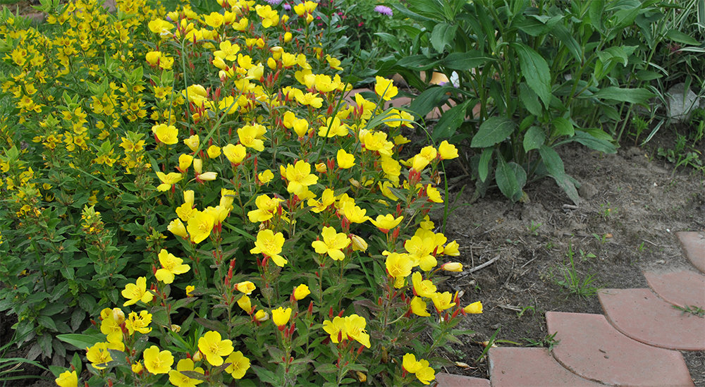 Как выращивать энотеру из семян дома и на даче - посадка и уход