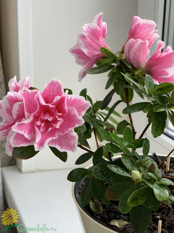 Уход за азалией после цветения