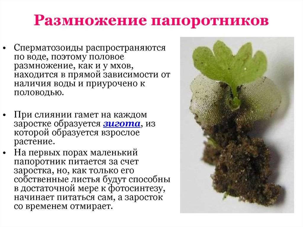 Размножение папоротников — схема и описание