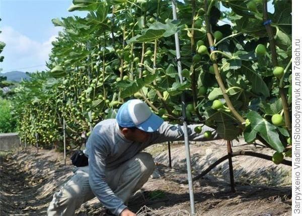 Саженцы инжира: как их посадить и в дальнейшем ухаживать
