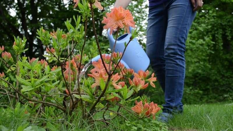Рододендрон японский (азалия садовая): посадка и уход, фото, а также как укрыть на зиму