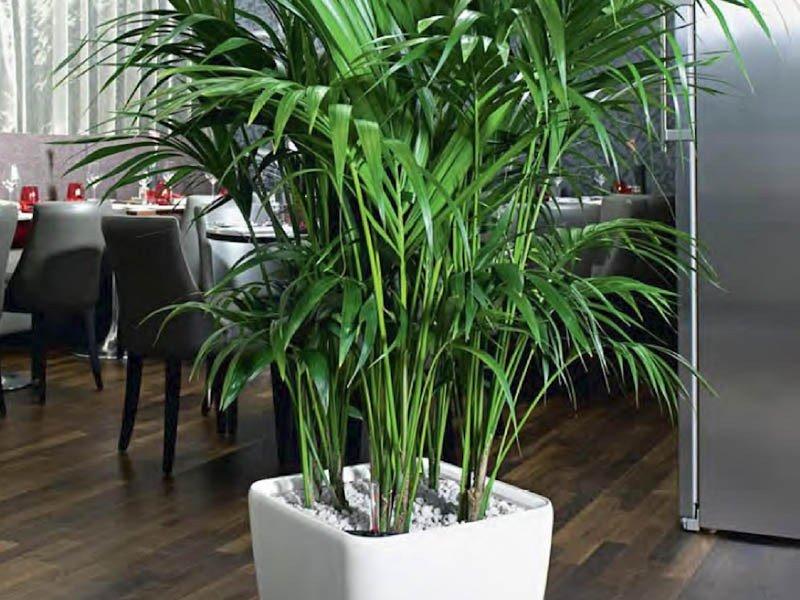 Пальма ховея: уход в домашних условиях