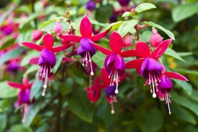 Нет цветков на фуксии: как найти причину, болезни и вредители на фуксии