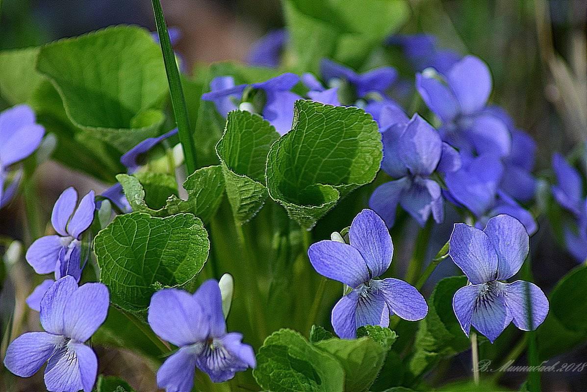 Фиалка садовая — описание, разновидности и характеристики сортов
