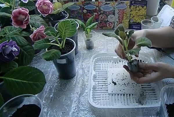 Почему у глоксинии на листьях коричневые пятна, они сохнут и вянут: лечение болезней