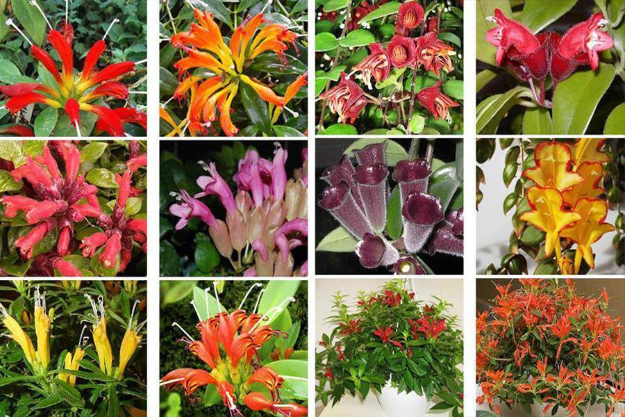 Цветок иксия: посадка и уход в открытом грунте, фото, выращивание в саду