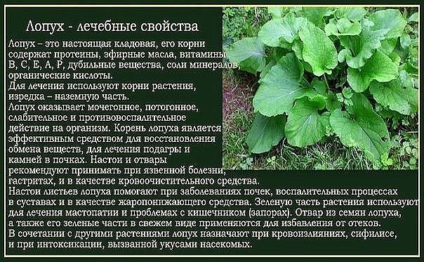 Крестовник обыкновенный Senecio vulgaris