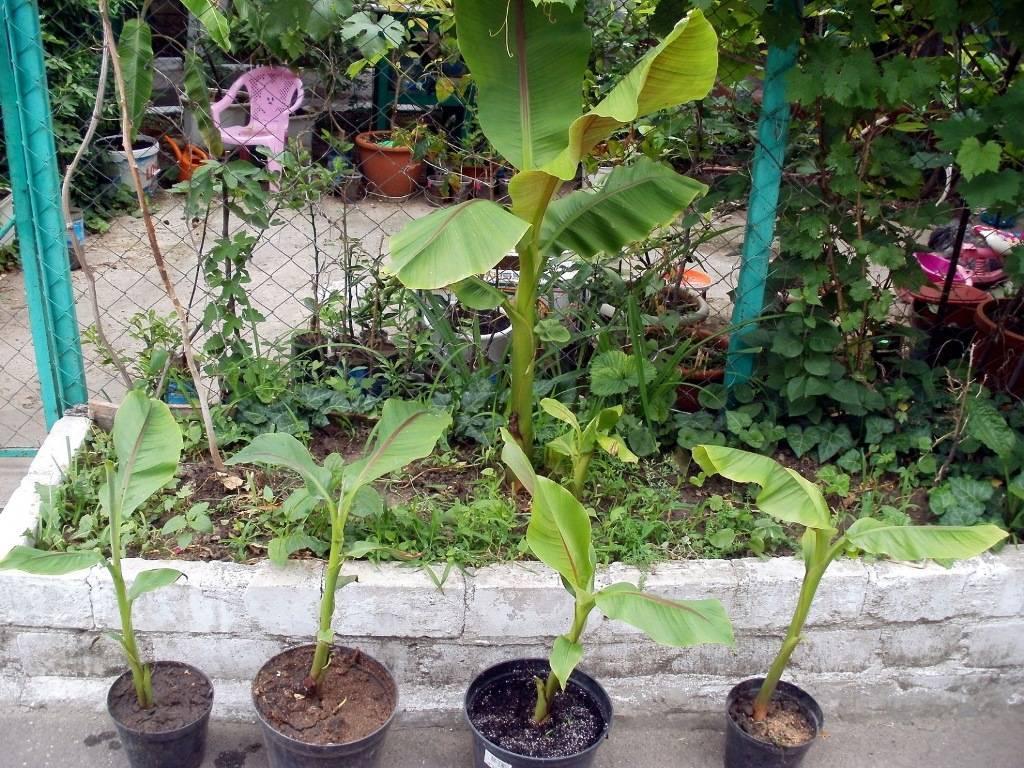 Можно ли вырастить банан из покупного и как правильно посадить растение в домашних условиях?