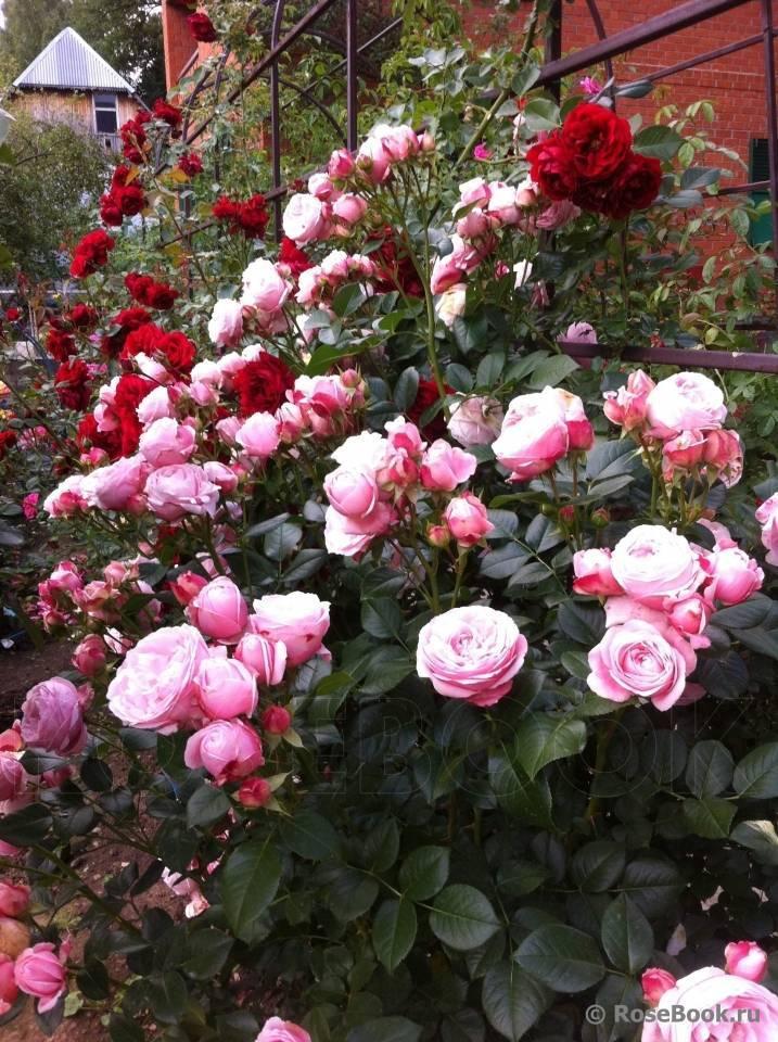 Описание плетистой розы эрик таберли: как выращивать сортовую разновидность шраба