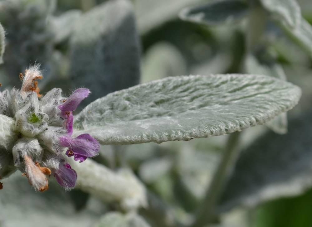 Чистец шерстистый овечьи ушки выращивание из семян посадка и уход фото в ландшафтном дизайне