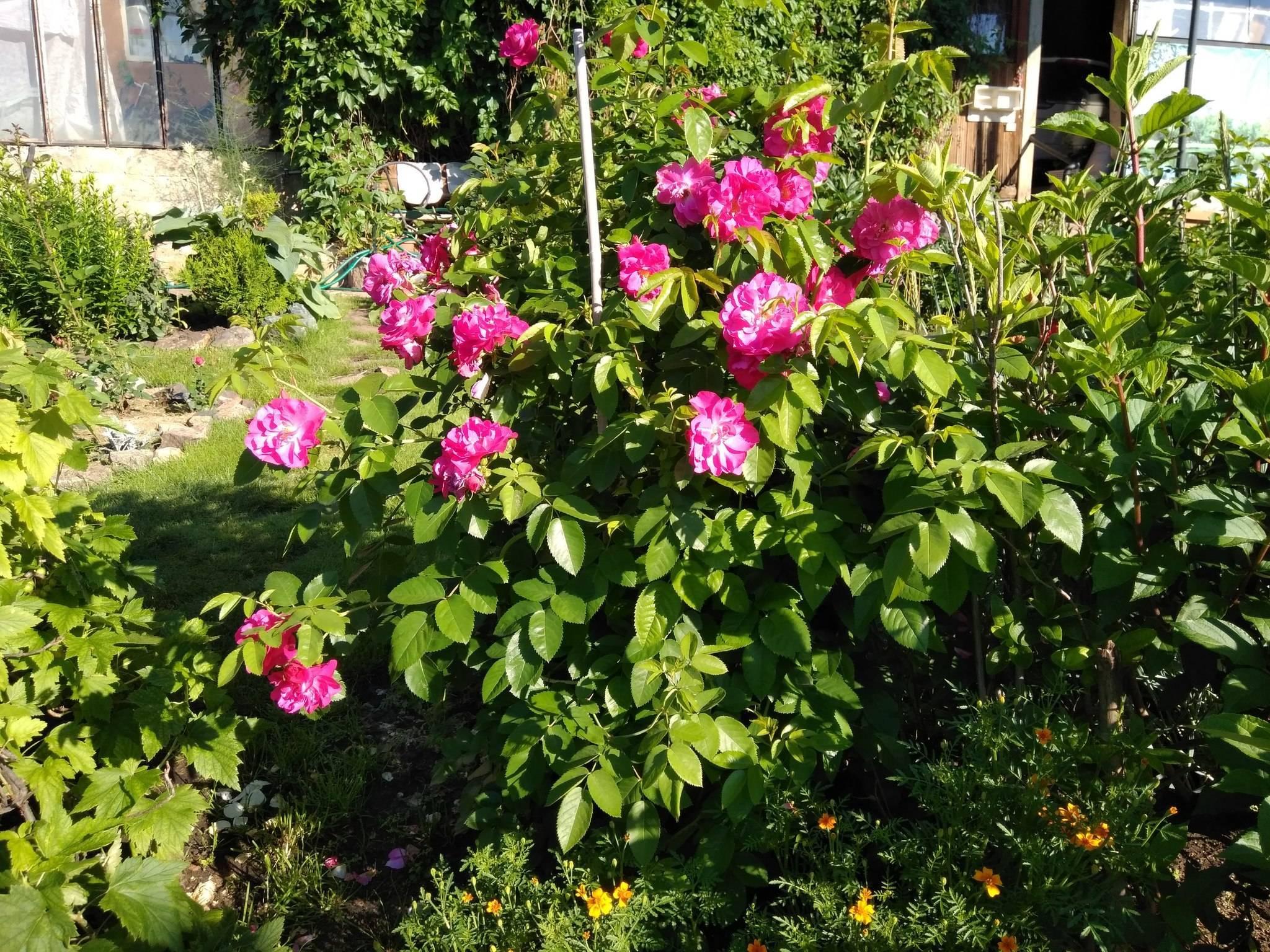 Выращивание сортовой розы катберт грант: уход за канадской парковой культурой