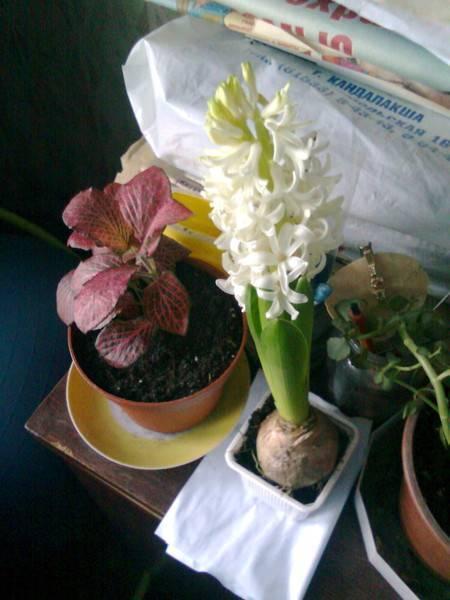 Что дальше делать с гиацинтами после того, как они отцвели? уход после цветения в домашних условиях в горшке. когда пересаживать цветы? как ухаживать в открытом грунте в саду?