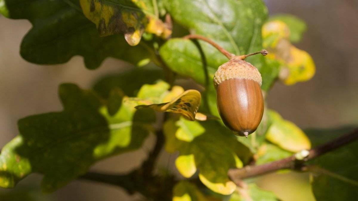 Выращивание дуба из желудя на садовом участке