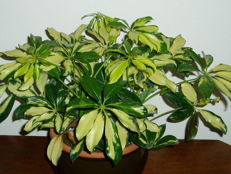 Как ухаживать за комнатным растением шефлера в домашних условиях