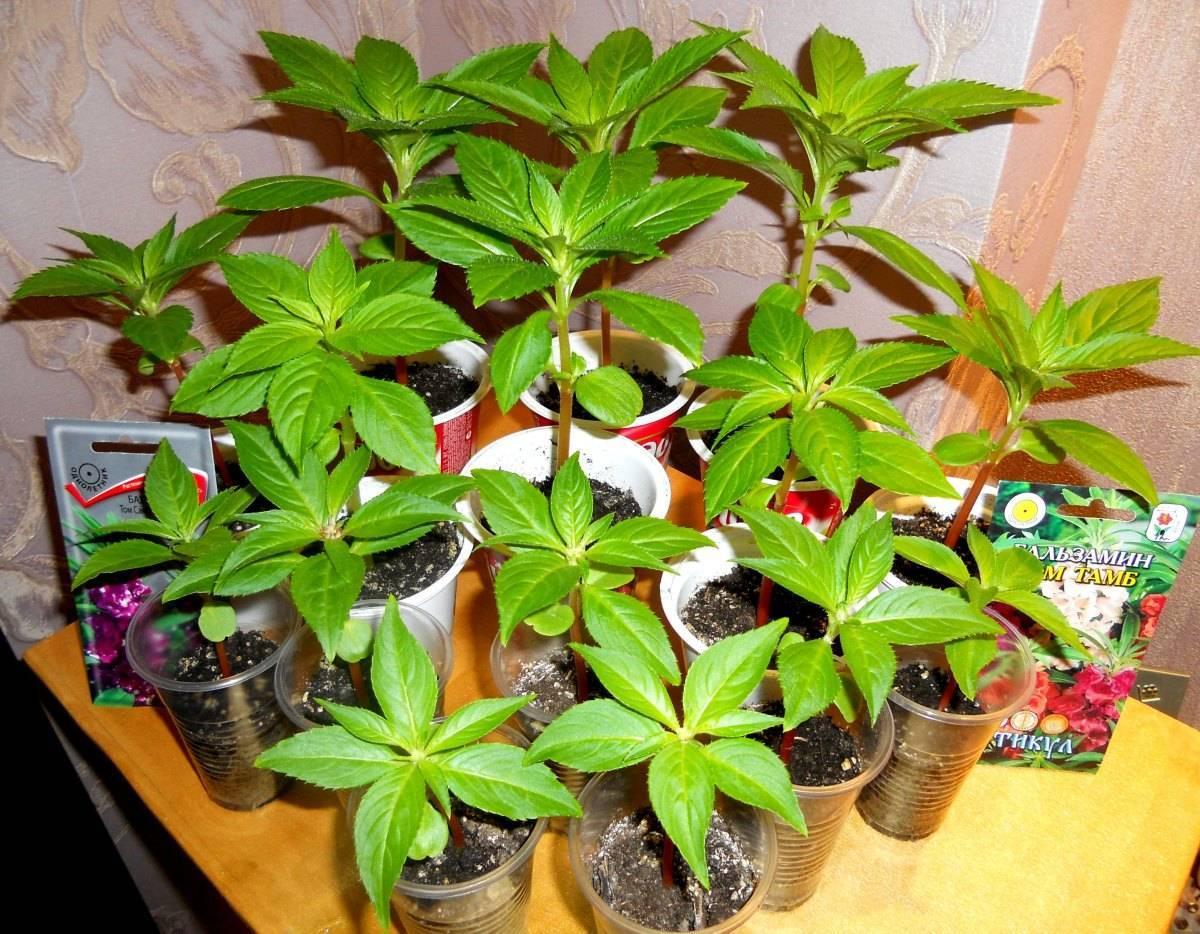 Бальзамин новогвинейский: фото, уход в домашних условиях, посадка травянистого растения в открытый грунт, размножение семенами и черенками, болезни комнатного цветка