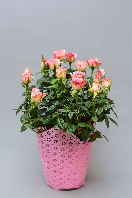 Уход за розой кордана в домашних условиях после покупки: как размножать, температурный режим зимой, подсорта комнатного растения кардана в горшке мини, микс и другие