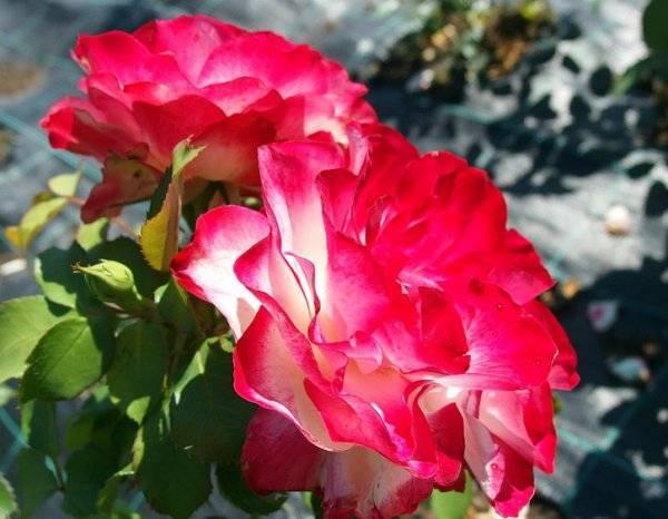 Неприхотливая романтика: как вырастить розы мидсаммер?