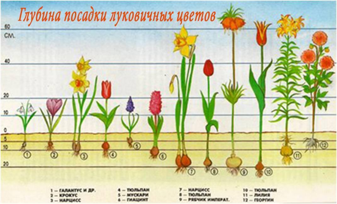 Гелениум многолетний: описание, сорта и особенности ухода за цветком в открытом грунте