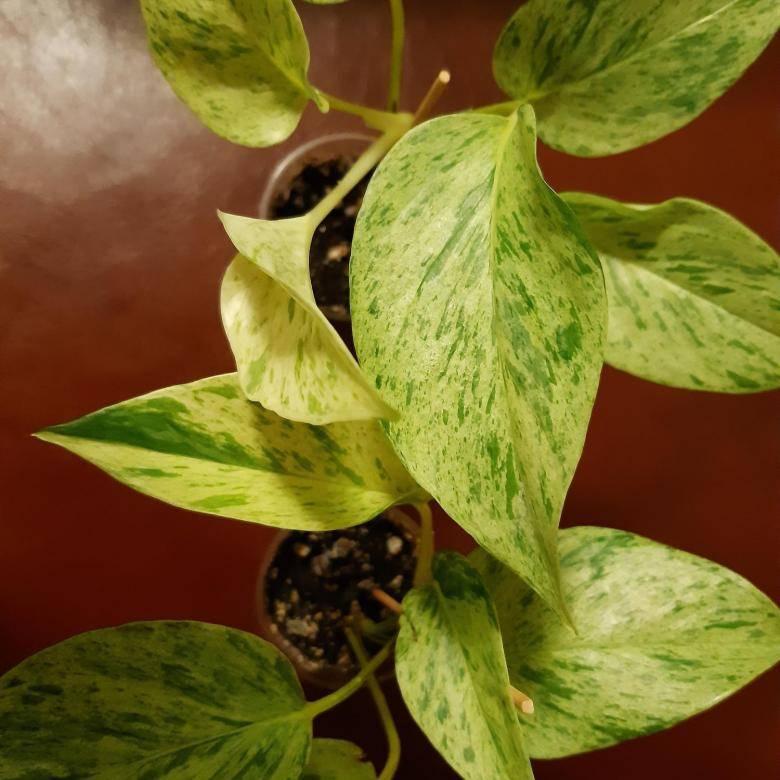 Цветок эпипремнум: уход в домашних условиях, фото, размножение и виды