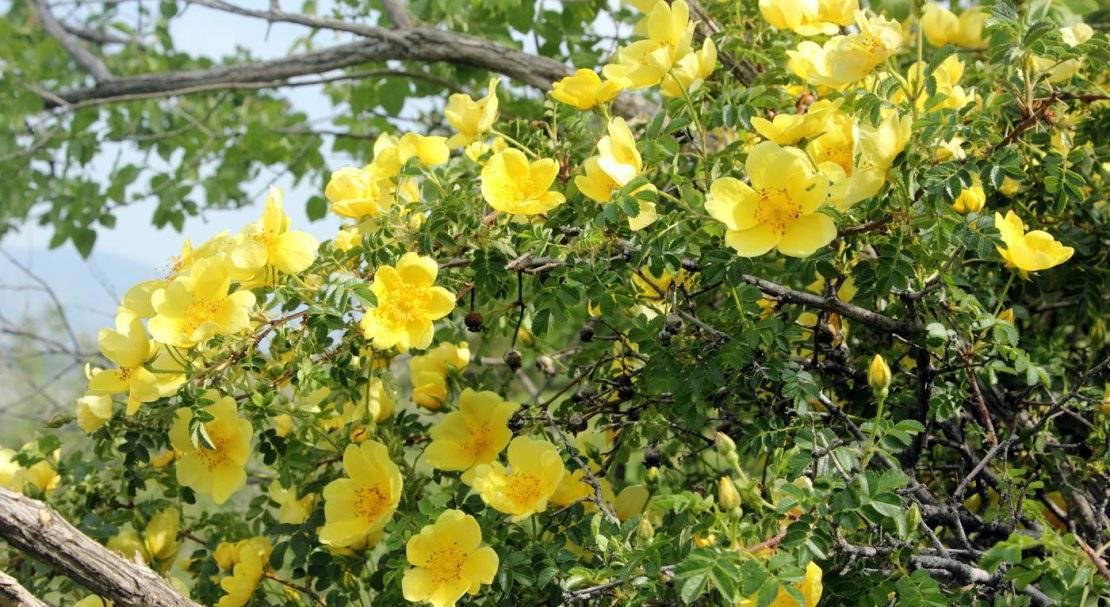 Виды комнатных роз: фото и названия сортов белого, желтого, розового и другого окраса, подходящих для домашнего выращивания, классификация и описание