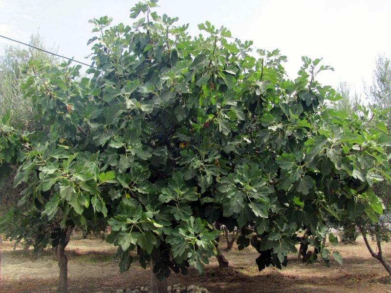 Инжир дерево или кустарник