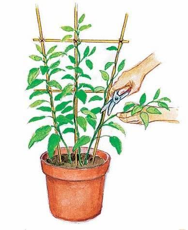 Фуксия: выращивание и уход в домашних условиях и зимой