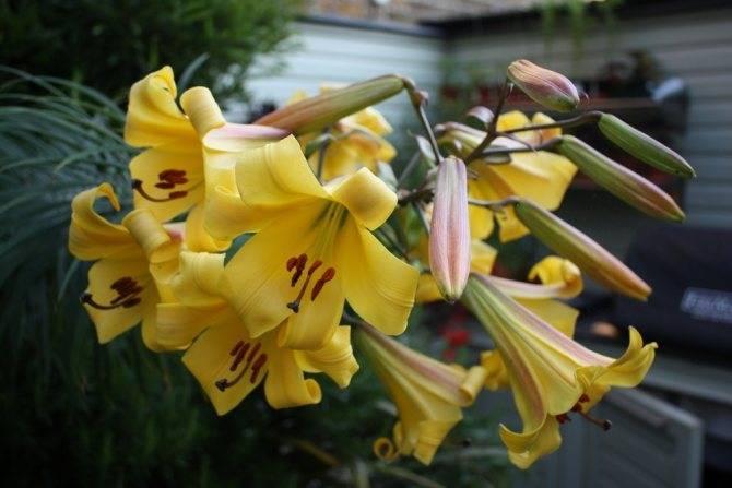 Видовые лилии: фото, виды, описание