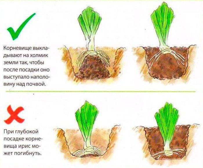Крокусы: посадка и уход в открытом грунте, пересадка, виды