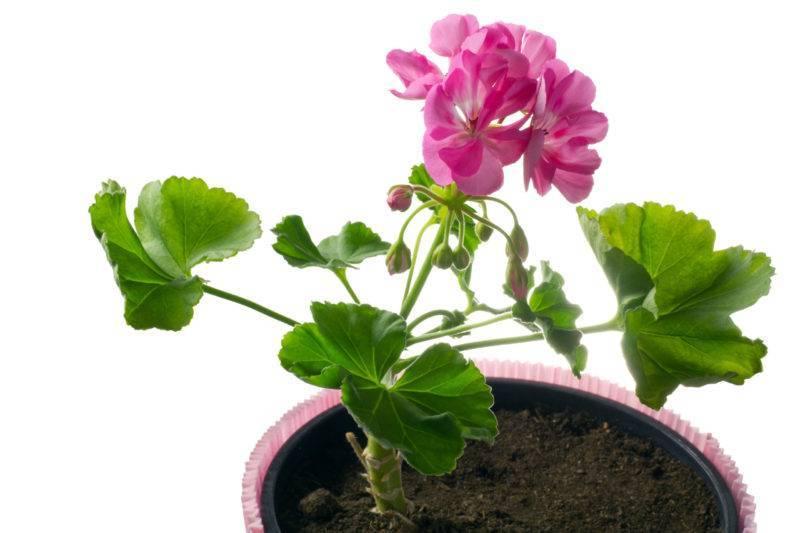 Горшок для комнатной герани: как выбрать размер и объем горшка для посадки цветка дома? какие горшки она любит и в каких лучше растет?