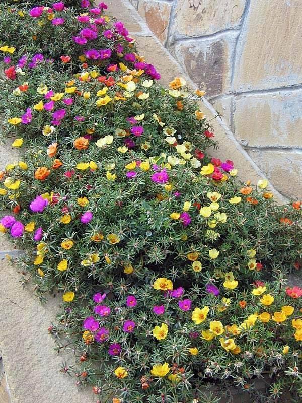 Портулак декоративный и портулак огородный (дандур) ' дача, сад, огород '