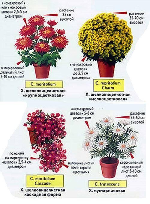 Домашняя хризантема в горшке: как ухаживать
